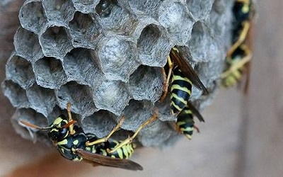 PTE听力练习题62-老托93- Wasps and Their Nests
